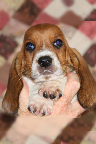 See The Basset Hound Colors Before You Look At Our Puppies