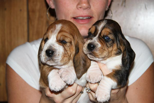Huggable Bassets Purebreed Basset Hound Puppys